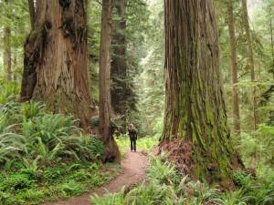Sequoyas en Redwood