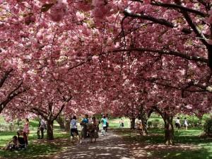 Cerezos en flor en Nueva York